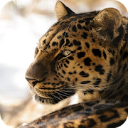Leopard Wallpapers APK